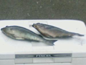 杵築の石垣さんクロ釣ってます。久々の磯で楽しかったとこれからつゆグロですね。期待しています。